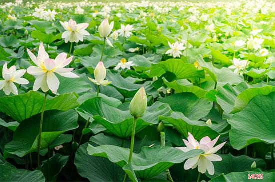 Tranh Hoa Sen - 14085